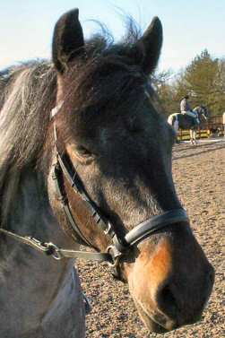 Izzy in her leather Dr Cook Bitless Bridle