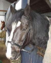 April's cob in leather bitless bridle