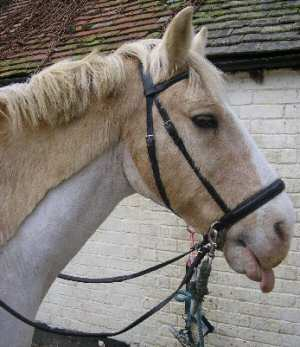 Arnie in his crossunder bitless bridle