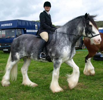 beautiful bitless Clydesdale
