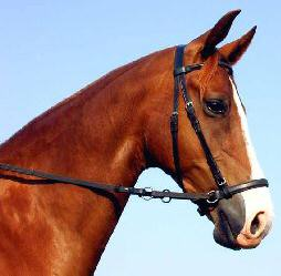 English Leather Bitless Bridle with beta crossovers