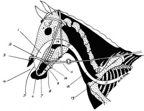 diagram horse skull showing correct noseband placement
