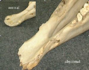 Horse skull showing bone spur