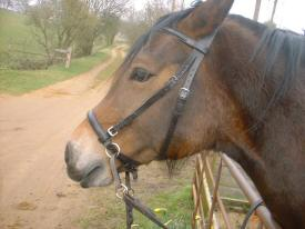 Calico wearing leather bitless bridle