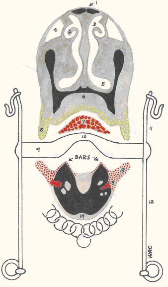 sinuses of head diagram. Diagram of Horse#39;s Head